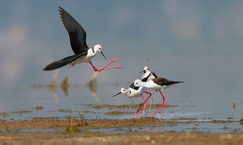 اچھالی پر پرندوں کا خاندان—تصویر بشکریہ ڈبلیو ڈبلیو ایف