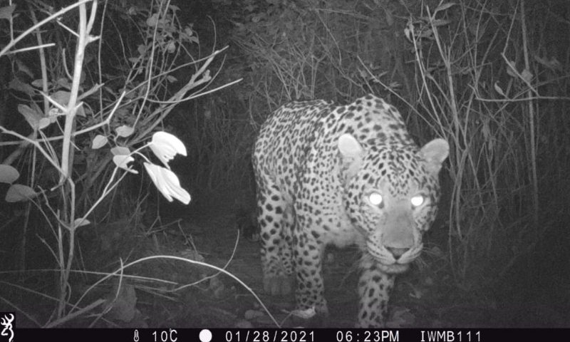 A female common leopard named Shezadi caught on camera by IWMB in January. — IWMB Chairperson Rina Saeed Khan's Twitter