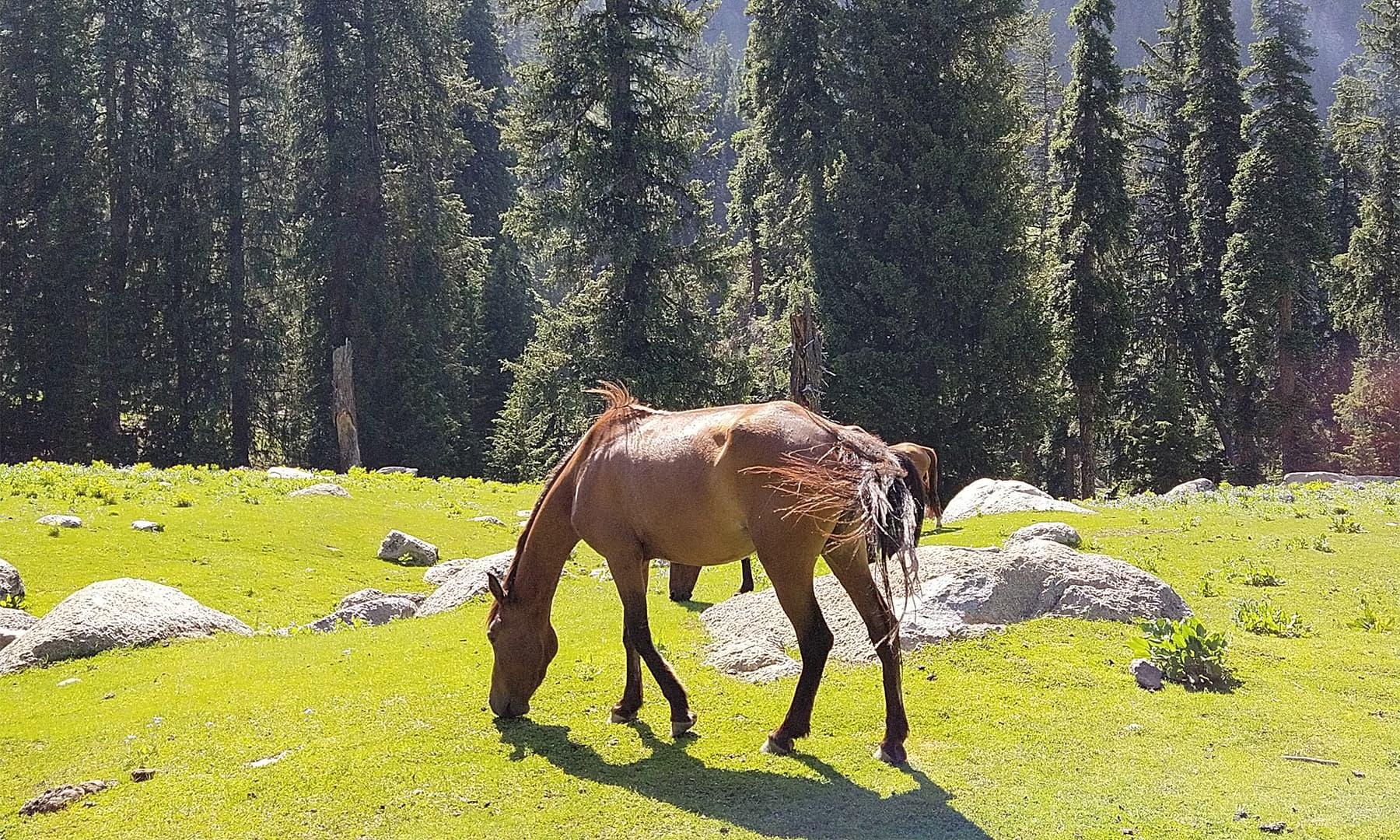 یہاں گائے اور گھوڑے گھاس کے مزے لے رہے تھے — تصویر: عظمت اکبر