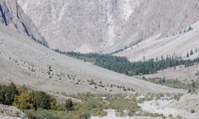 Himalayan birch trees growing in Chitral highlands. — Dawn