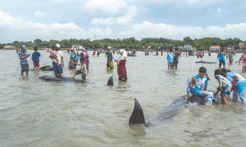 PEOPLE try to save short-finned pilot whales stranded on a beach in Madura island.—AFP