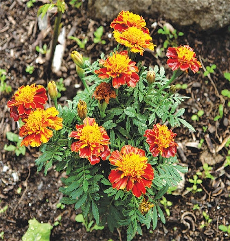 Tagetes help repel garden pests