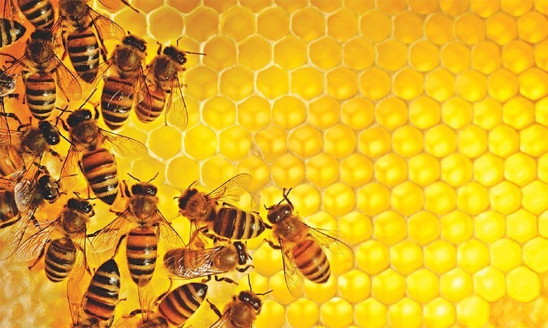 Bee population has been dwindling over the past decade due to a variety of reasons, ranging from bacterial diseases to pesticides. — File photo