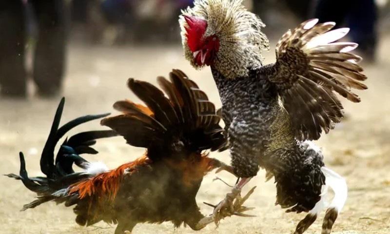 بھارت: مرغوں کی لڑائی کے دوران ضرب لگنے سے مالک ہلاک