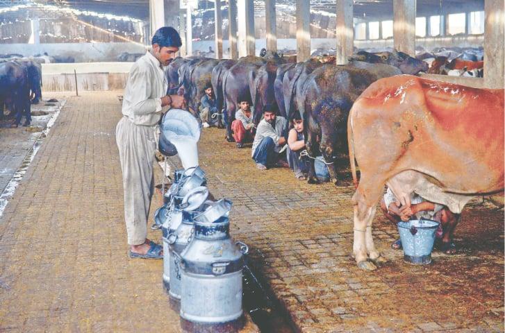 Milking under way at a dairy farm at Karachi's Bhains Colony | Fahim Siddiqi/White Star