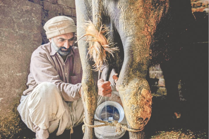 A dairy farmer milks a buffalo in Lahore | Murtaza Ali/White Star