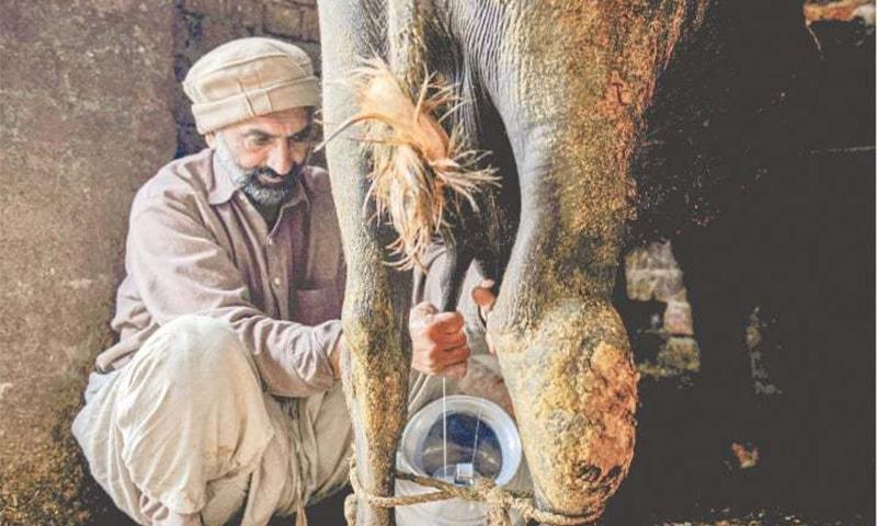 ایک ڈیری فارمر بھینس کا دودھ دوہتے ہوئے— تصویر مرتضیٰ علی/وائٹ اسٹار