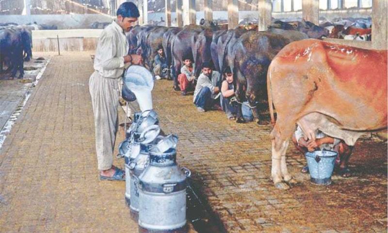 کراچی کی بھینس کالونی کے ایک فارم میں دودھ دوہیا جارہا ہے— تصویر فہیم صدیقی/ وائٹ اسٹار