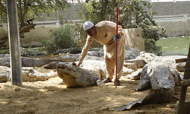 مزار کے خلیفہ مگرمچھوں کو کھانا کھلاتے ہوئے— تصویر: اقبال کھتری