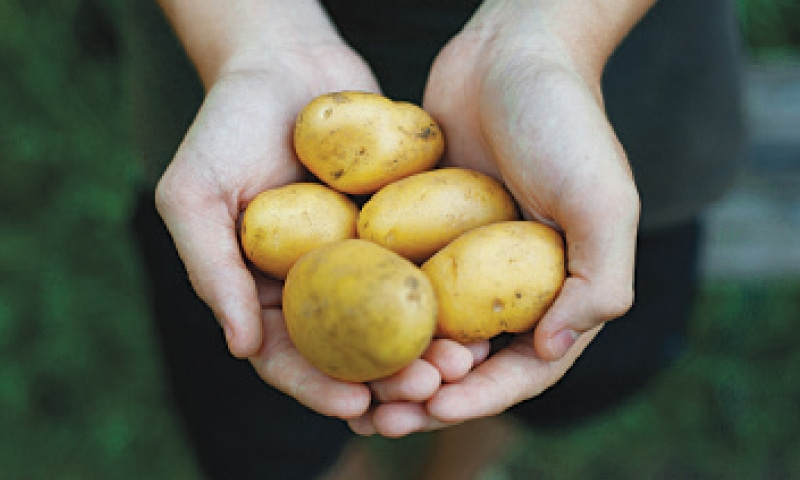 Pakistan is poised to become self-sufficient in potato seed by mid-2022. The country is going to start producing high-quality, virus-free, third-generation potato seed.