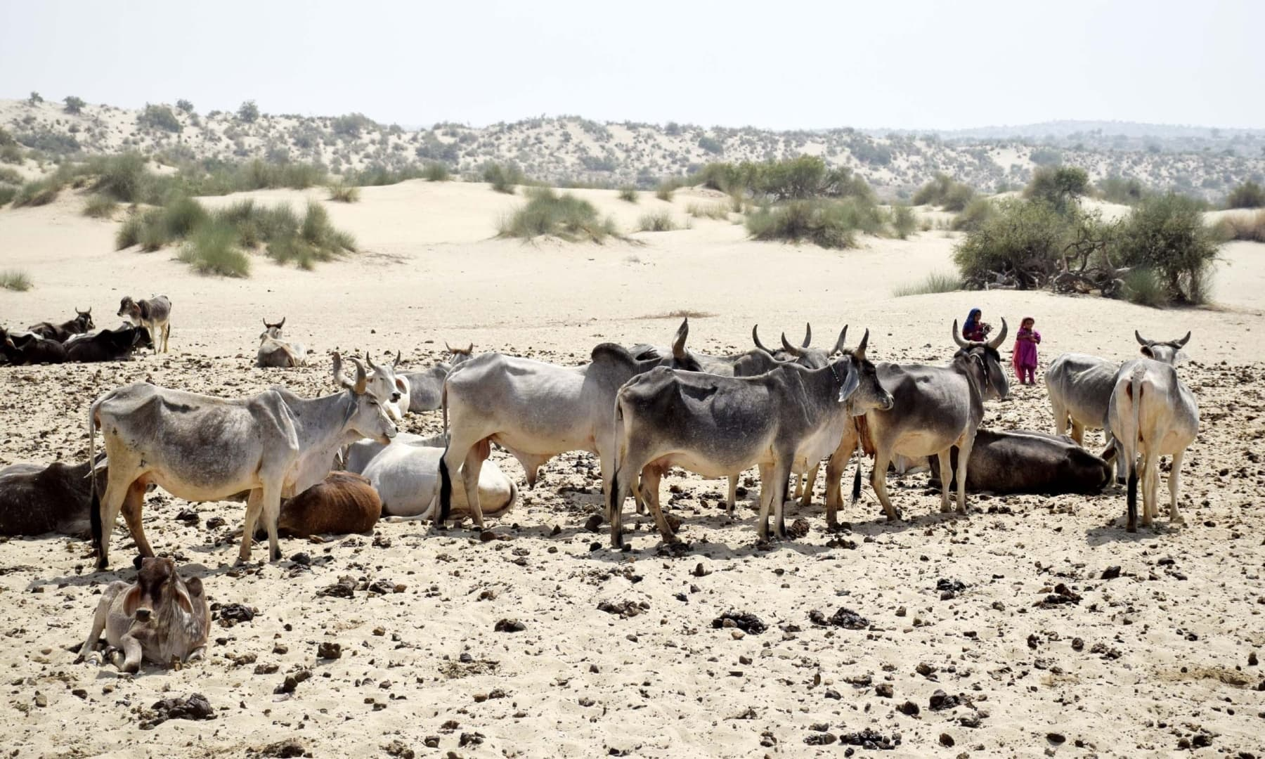 A herd of cattle in Achhro Thar, Khipro, Sindh. — Photo by Umair Ali