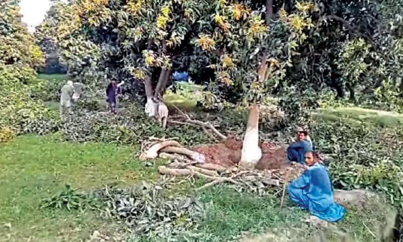 MULTAN: A file photo of the felled mango trees. — Dawn