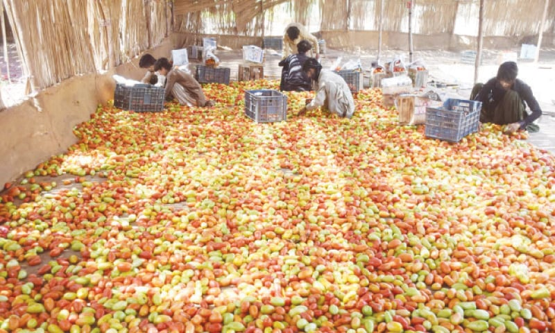 MIRPUR SAKRO: Labourers are packing tomatoes in wooden boxes in vegetable market on Saturday.  — Photo by Umair Ali