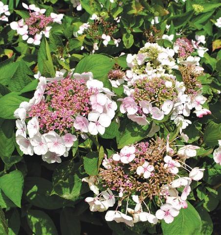 Shrub of the month; Hydrangea lacecap