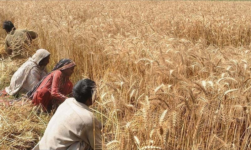 Wheat harvest has begun in the southern districts of Punjab as temperature has increased enough to mature the crop. — AFP/File