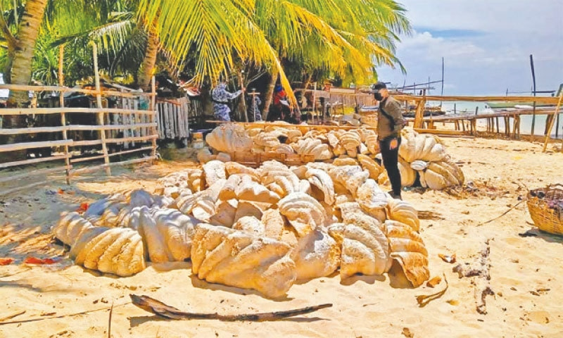 Coast guard personnel inspecting seized giant clam shells, weighing a total of 200 tonnes and worth some 25 million dollars, on Green island in Roxas town, Palawan province, Philippines. — AFP