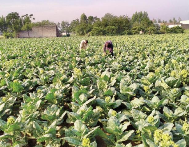 Farmers work in a Swabi tobacco field. — Dawn