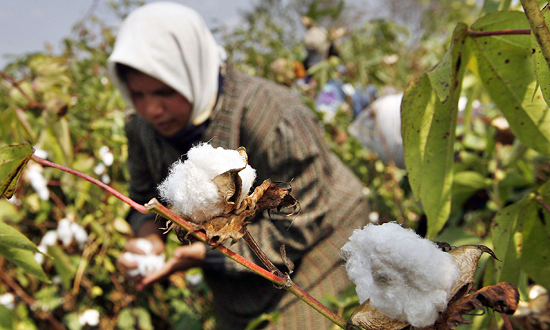 Sindh will grow cotton over an area of 600,000 hectares and so far  sowing on half of the area has been carried out in lower parts of the province. — AFP/File