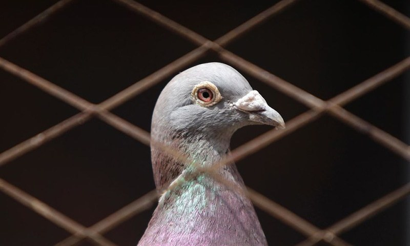 India's Border Security Force (BSF) has requested the SHO Khangarh Police Station in Amritsar to lodge a first information report (FIR) against a pigeon found near the border with Pakistan. — Reuters/File