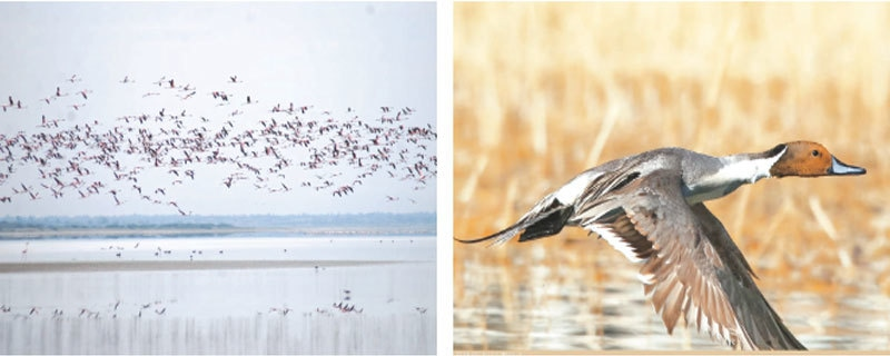 Flamingos fly over a water body in Nagarparkar (picture courtesy WWF)and (right)a northern pintail seen at Borith Lake, Gojal, Gilgit-Baltistan (picture by Imran Shah).