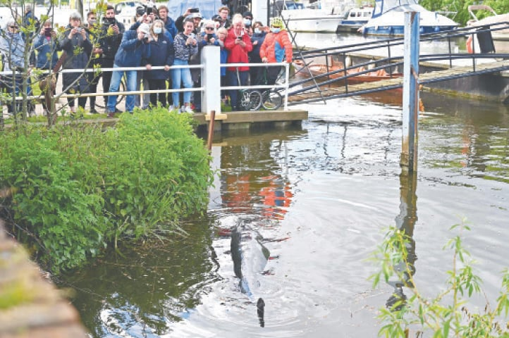 PEOPLE watch the whale after it swam up the river Thames.—AFP