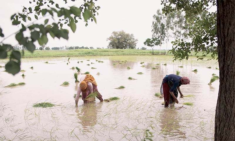 Ambiguity in the implementation of ban on cultivation of paddy crop in areas on left bank of Indus River has got growers in lower region of Sindh in a fix. ─ Photo courtesy Ahsan Mahmood/File