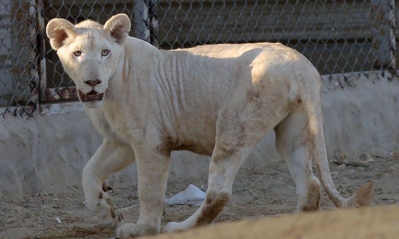 A lioness walks in a cage at a private zoo in Karachi. — AFP/File