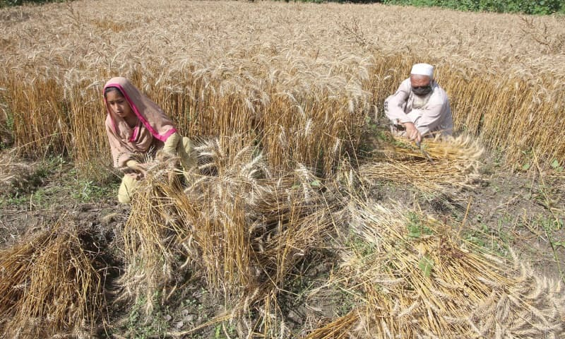 Flour mill owners of the Rawalpindi Division have lodged a complaint with the federal government against Punjab administration for not permitting them to purchase wheat. — PPI/File