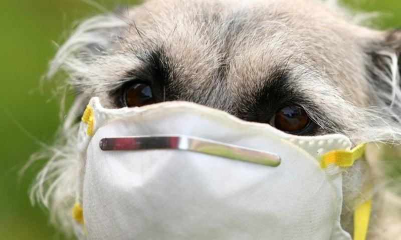 کتے ایک سیکنڈ میں کووڈ 19 کے مریض کی شناخت کرسکتے ہیں، تحقیق