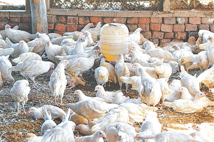 Birds seen at a poultry farm in this file photo.—White Star