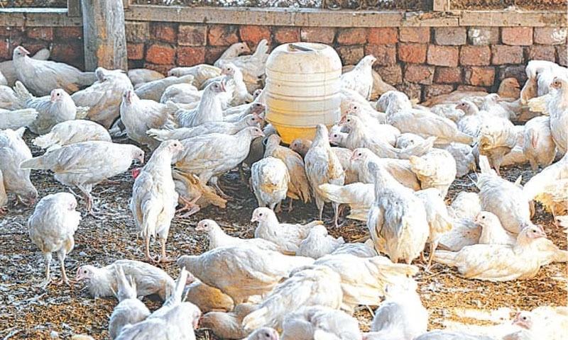 حکومت سے بیمار مرغیوں کی مارکیٹ میں فروخت کی اجازت نہ دینے کا مطالبہ