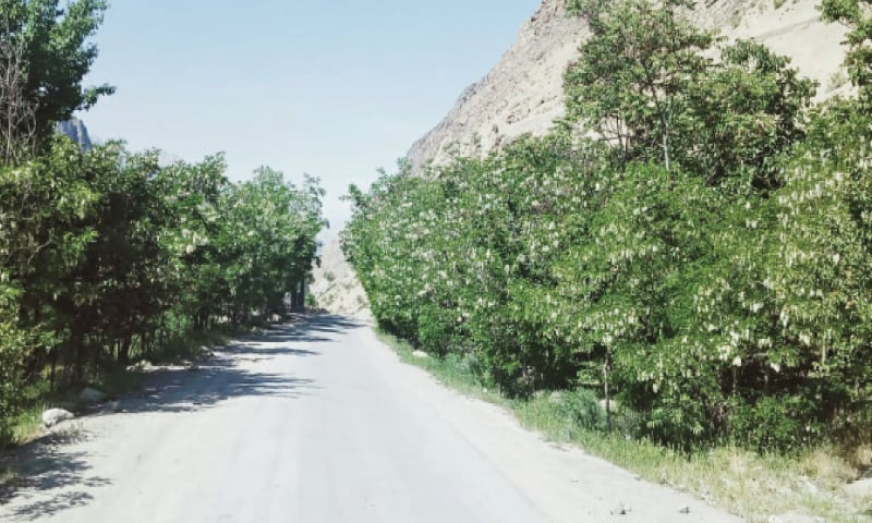 Robinia plants lining a street in Booni Town, Upper Chitral. — Dawn