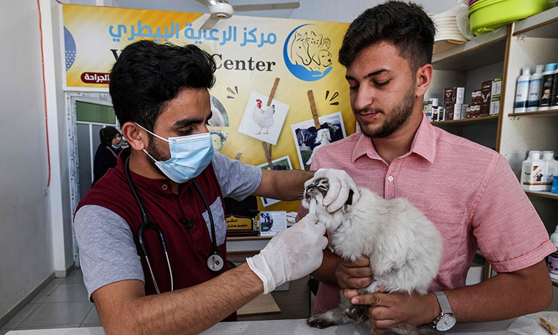 Palestinian veterinarian Mutasem Qaddoura examines a cat at a clinic in Gaza City on May 24, 2021. — AFP