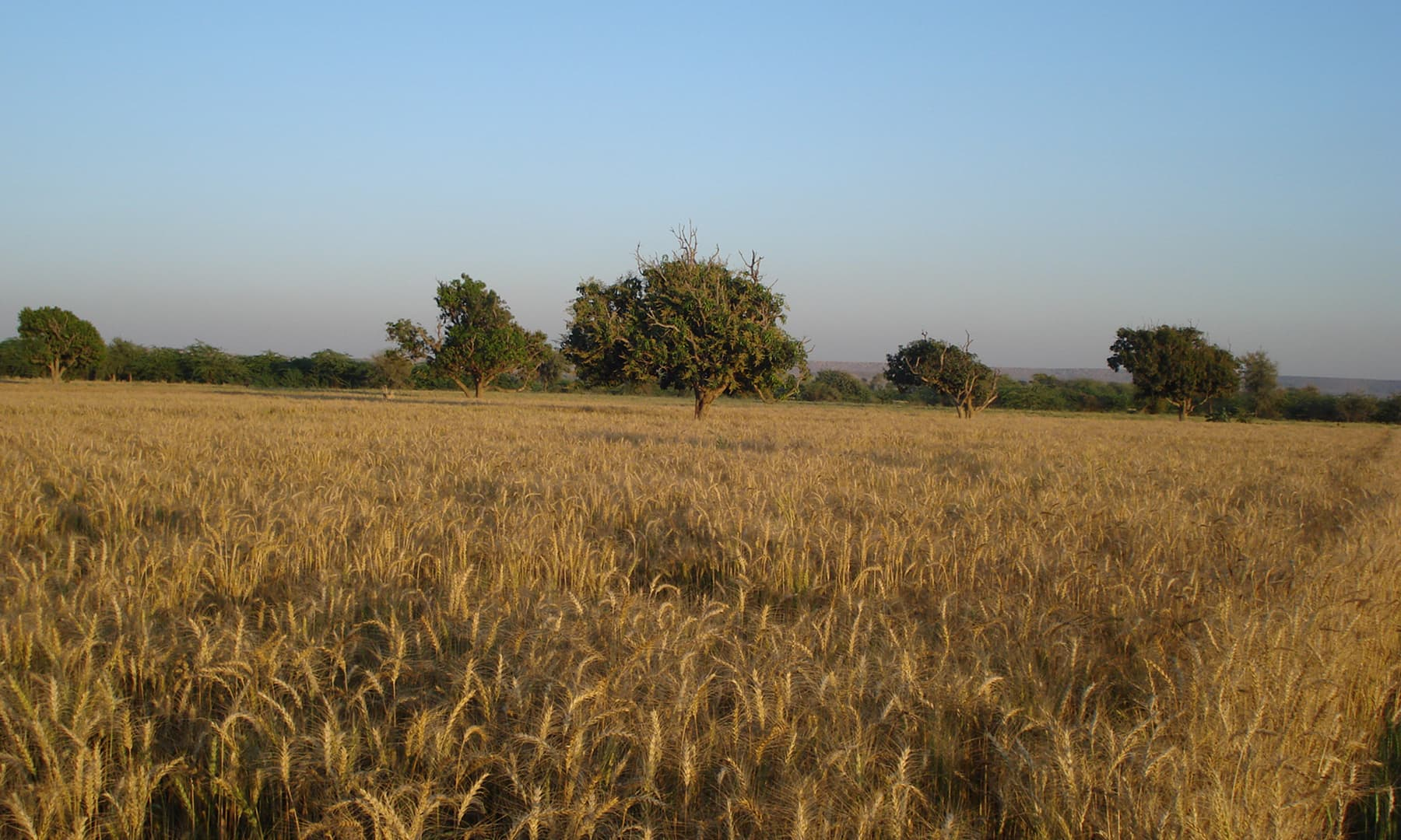 گڈاپ میں کھڑی گندم کی فصل