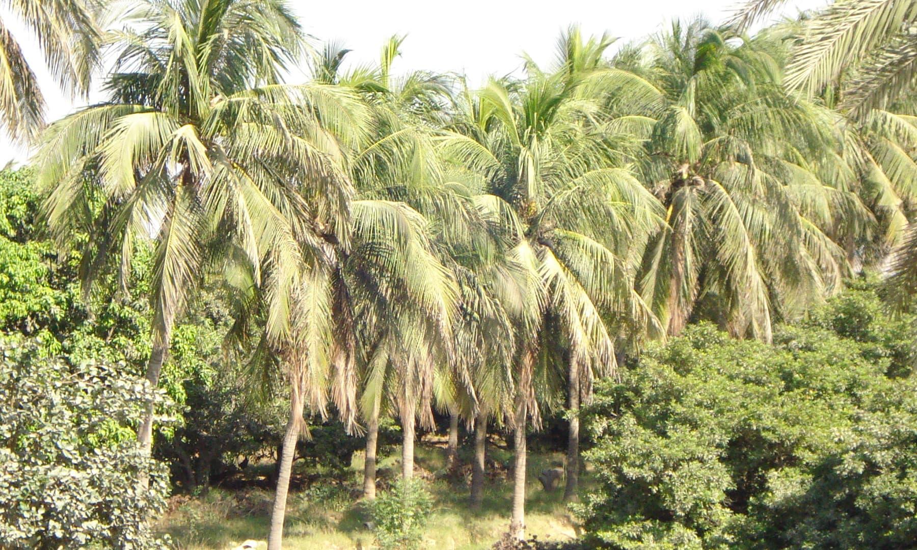 ملیر میں کھڑے درخت—گل حسن کلمتی