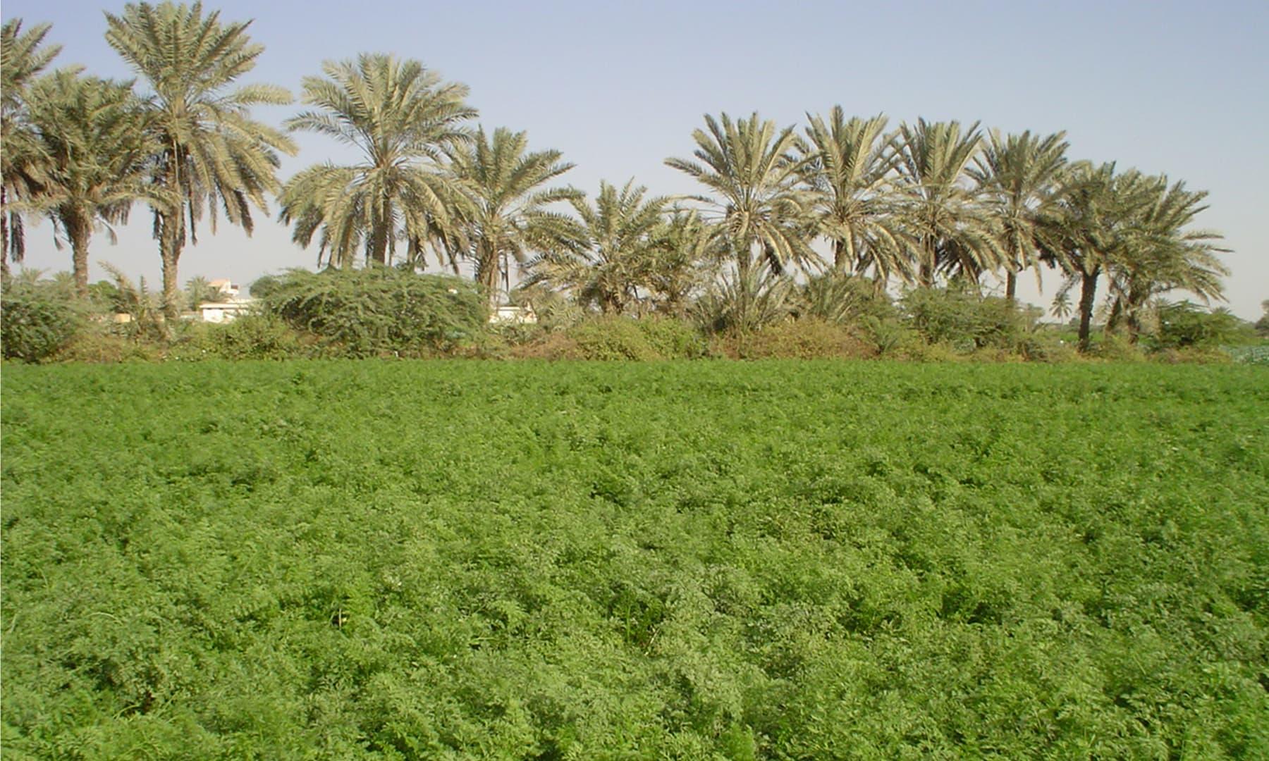 ملیر کا ایک کھیت — گل حسن کلمتی