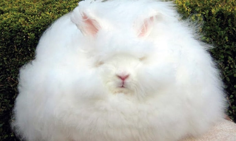 Angora wool, made from Angora rabbit's fur, will be used for weaving shawls. — File photo