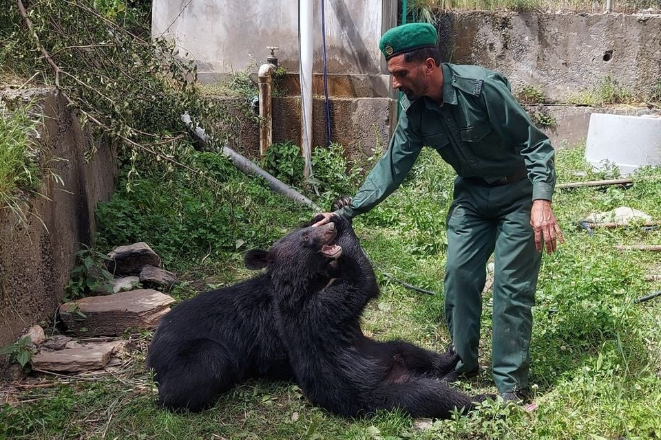 Sher Wali, a wildlife watcher, plays with a pair of Asian black bears, rescued a year ago near the LoC, at the Wildlife and Fisheries department in a Dawarian village in Neelum Valley . — Reuters
