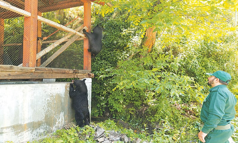 Arif Kazmi watches as cubs climb a shelter housing troutlets on the compound in Dawarian