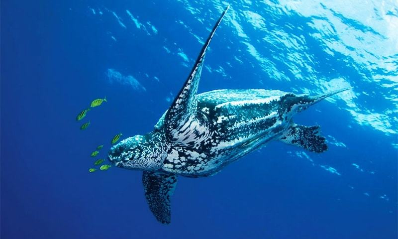 A Leatherback turtle swims in the ocean. — WWF/File