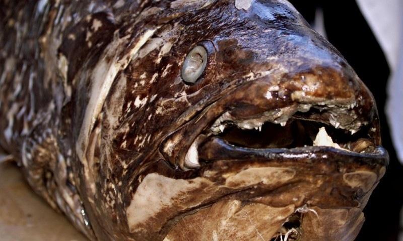 ڈائنوسار کے عہد سے زمین پر موجود مچھلی اب بھی سائنسدانوں کو دنگ کررہی ہے
