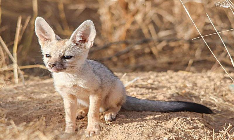 White-footed fox   Khurram Asim Kalimi