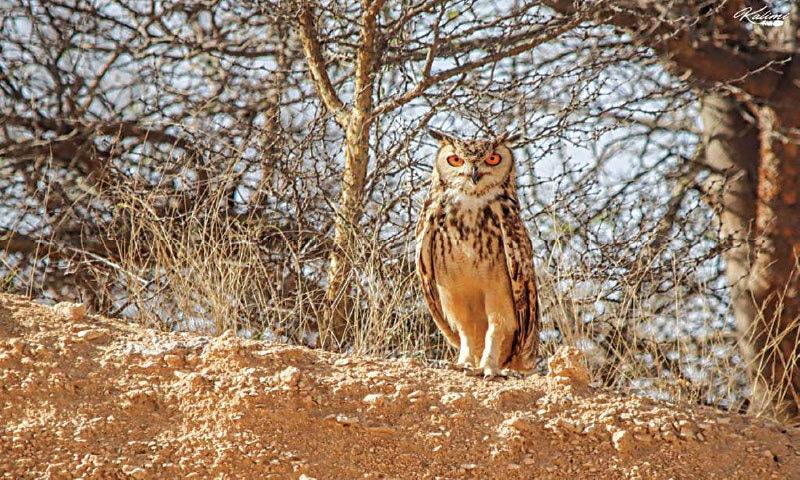 Eurasian Eagle Owl   Khurram Asim Kalimi