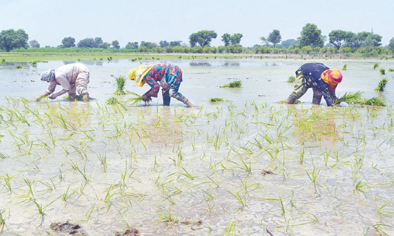 LAHORE: Farmers plant saplings in a paddy field submerged by water on Saturday. Pakistan's export of basmati rice fell to $511m in 11 months of this fiscal year from $739m in the same period last year — a drop of around 31 per cent. —Online