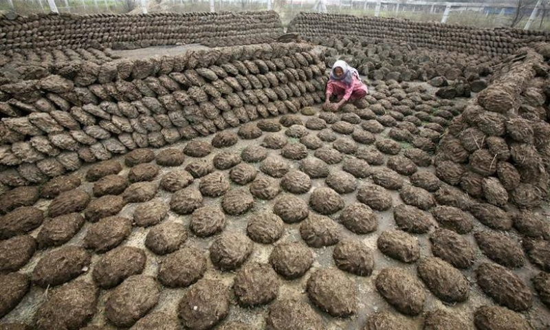 A woman makes cow dung cakes at Bahlolpur village in the northern Indian state of Punjab in this file photo. — Reuters