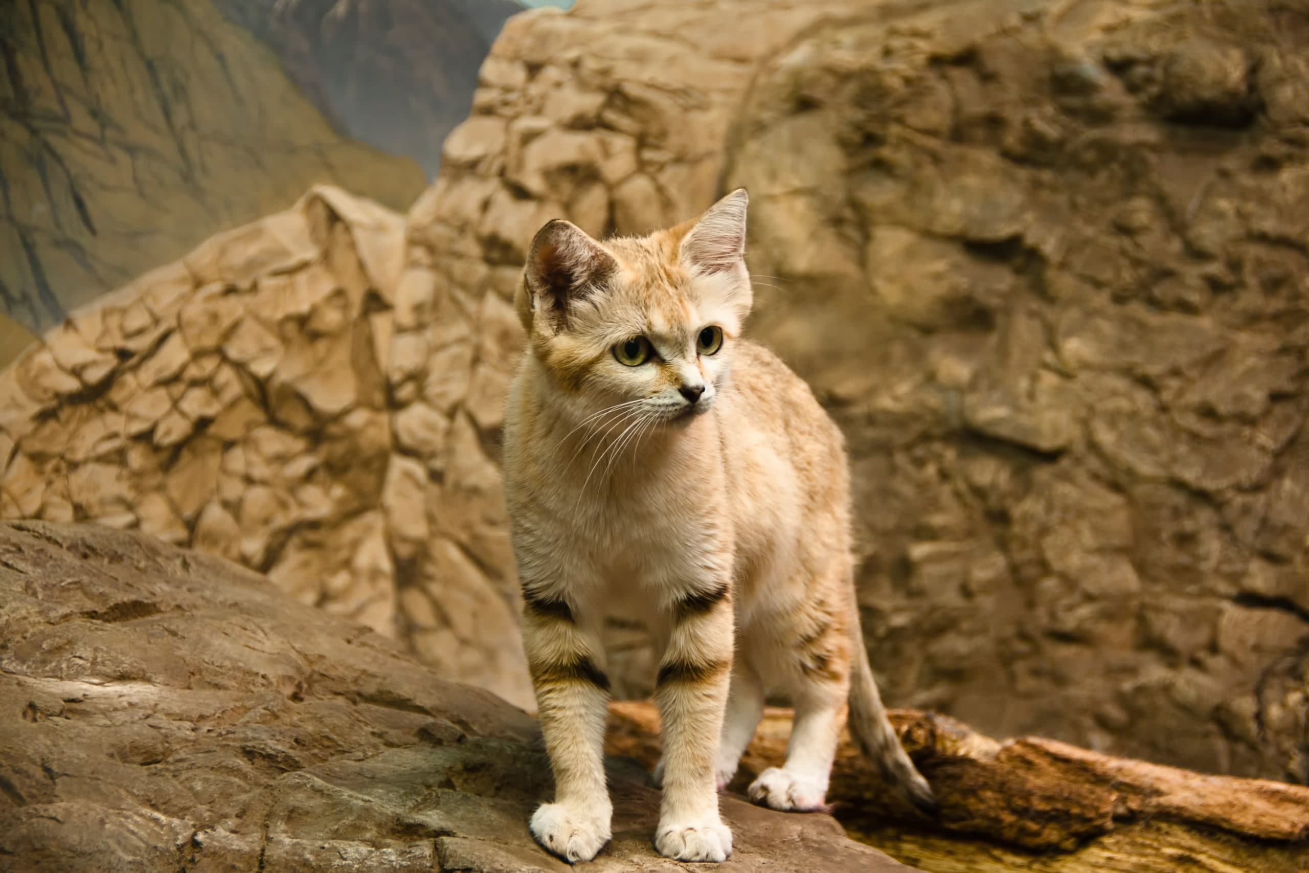 The sand cat lives in arid areas including the deserts of Pakistan. Under the 'nature performance bond', Pakistan could receive finance in return for protecting biodiversity. — Image: Richard Higgins/Alamy