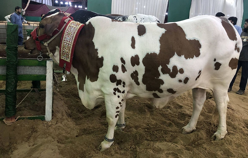 A cow on display at one of the stalls in the VVIP section of the cattle market. — Photo: Shahzeb Ahmed