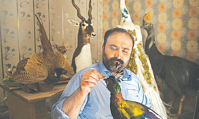 IN this June 9 picture, Jahangir Khan Jadoon works on a stuffed bird at his workshop near Lahore.—AFP