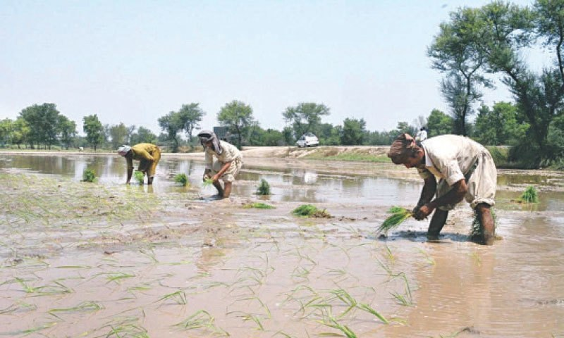Farmers plant rice seedlings in a field in Sargodha. — APP/File