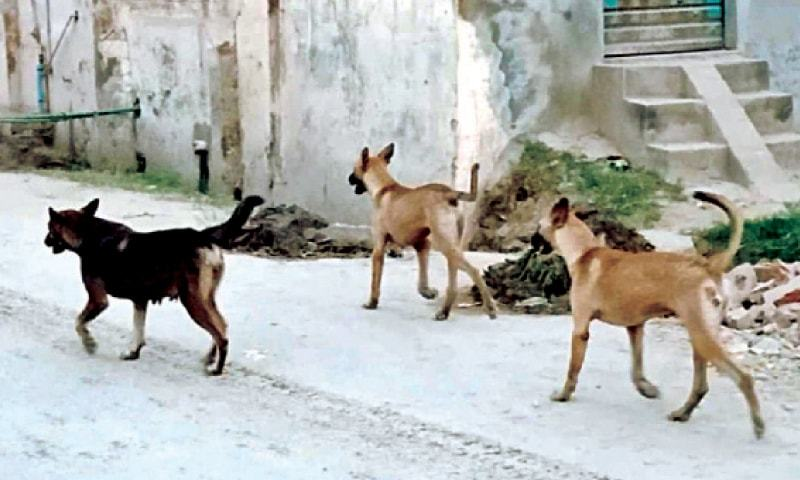 According to a senior CDA official, the sanitation directorate would kill about two dozen stray dogs daily, adding that the civic body was not in a position to take action against these dogs after the court's order. — Dawn/File